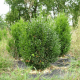 Kit Haie Buis Commun (Buxus Sempervirens)