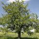 Cerisier Big Napoleon