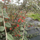 Kit Haie Pleine Nature - Cotoneaster franchetti (Cotoneaster franchetti)