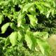 Charme melanosporum (Carpinus betulus)