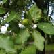Chêne vert melanosporum (Quercus ilex)