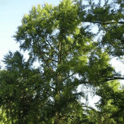 arbre aux 40 cus ginkgo biloba vente arbre et arbuste en ligne. Black Bedroom Furniture Sets. Home Design Ideas