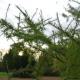Mélèze hybride (Larix Eurolepis)