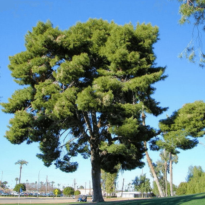 Pinned From: Pin D'Alep (Pinus Halepensis)