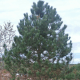 Pin laricio de Calabre (Pinus Nigra Calabrica )