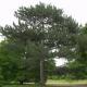 Pin de Salzmann (Pinus Nigra Salzmanii)