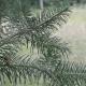 Douglas vert (Pseudotsuga Menziesii )