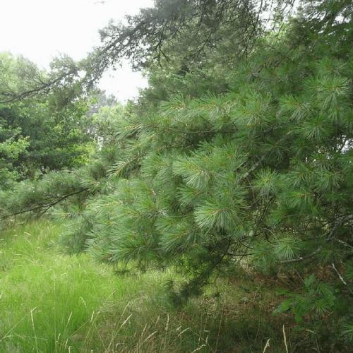 Pin de Weymouth (Pinus strobus)