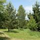 Pin de monterey (Pinus radiata)