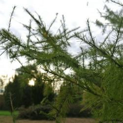 Mélèze d'europe (Larix Decidua)