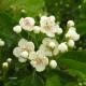 Aubépine ou Epine blanche (Crataegus Monogyna)