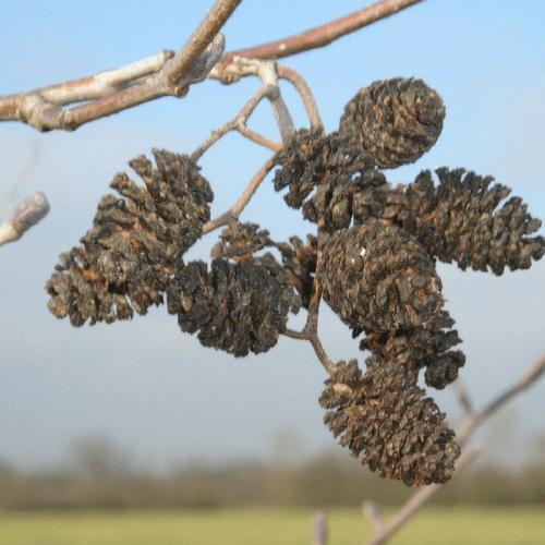 Aulne glutineux (Alnus Glutinosa)