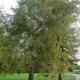 Bouleau pubescent (Betula Pubescens)