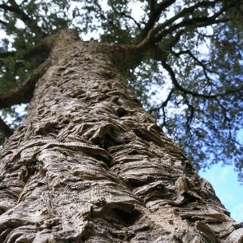 Quercus suber  Plant Finder