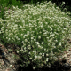 Bonjeanie hérissée ou Pied de coq (Dorycnium Hirsutum  'Fréjorgues')