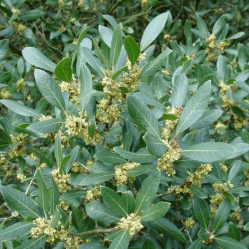 Filaire à feuilles larges (Phillyrea Latifolia)