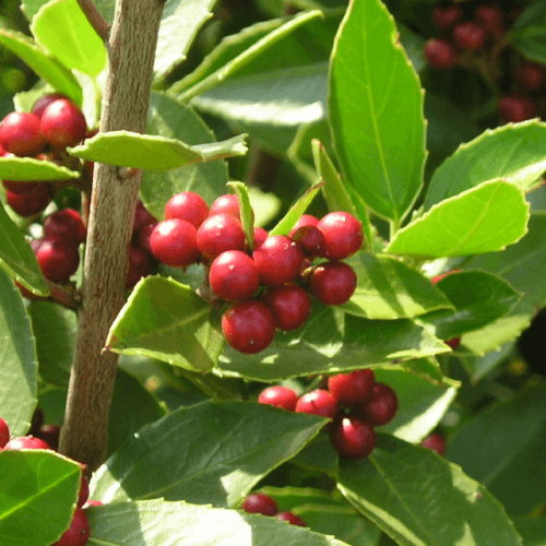 Nerprun alaterne (Rhamnus Alaternus)