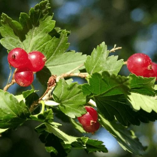 Groseillier des Alpes (Ribes Alpinum)