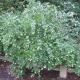 Symphorine blanche (Symphoricarpos Albus)