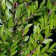 Chèvrefeuille cupule (Lonicera Pileata)