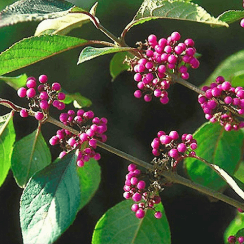 Callicarpe de Bodinier (Callicarpa bodinieri)