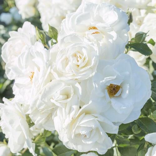 Rosier Iceberg - Rose Blanche - Fleurs Groupées