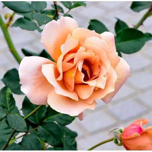 Rosier Diorama - Rose Abricot Jaune - Grandes Fleurs