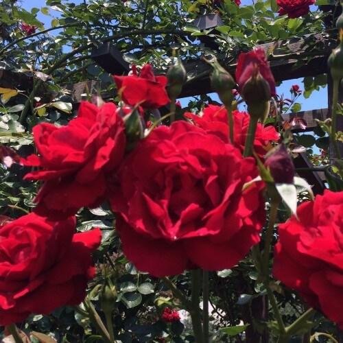 Rosier Ena Harkness - Rose Rouge - Grandes Fleurs