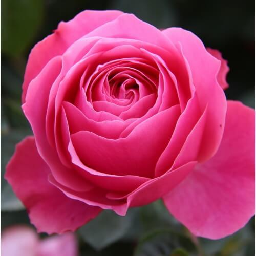 Rosier Kimono - Rose Pâle - Fleurs Groupées