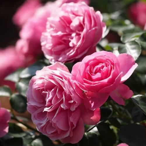 Rosier Léonard De Vinci - Rose Bengale - Fleurs Groupés