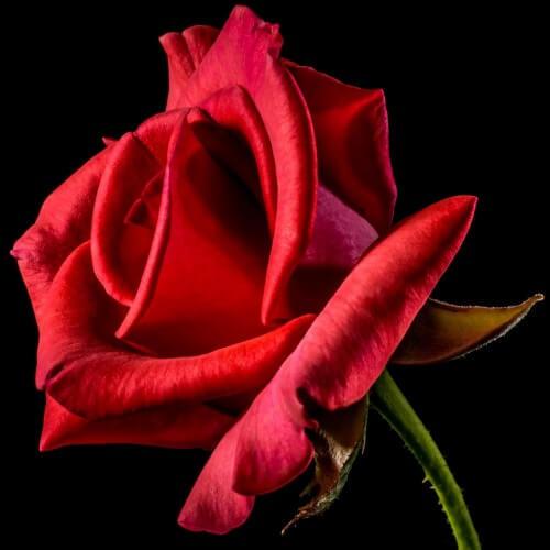 Rosier Grand Huit ®- Rose Rouge - Grandes Fleurs