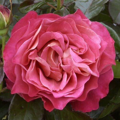 Rosier Belle Époque ® - Rose Canelle - Grandes Fleurs