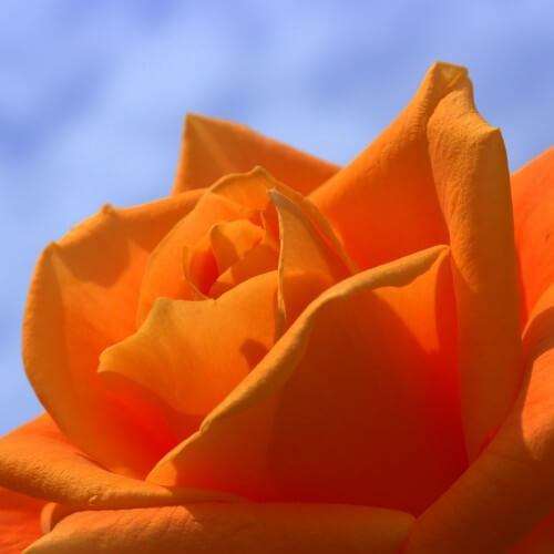 Rosier Orange Sensation - Rose Orange Vif - Fleurs Groupés
