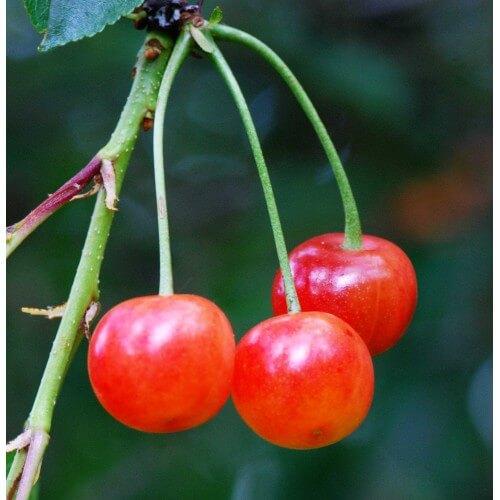 Cerisier Montmorency