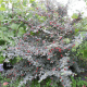 Kit Haie Cotoneaster (Cotoneaster Franchetti)