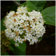 Kit Haie Viorne flexible (Viburnum Lantana)