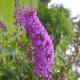 Arbre à Papillons - Buddleia Davidii Nanho Purple