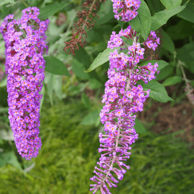vente arbre à papillons - buddleia davidii nanho purple   pépinières