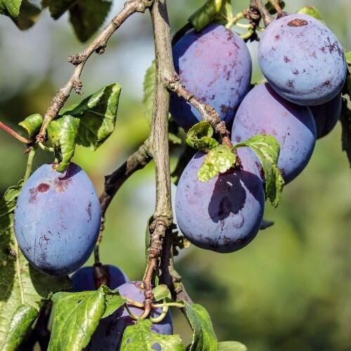 Prunier Quetsche d'Alsace - Prunus Domestica