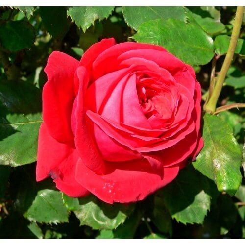 Rosier Dame De Coeur Rosier Grandes Fleurs Pepinieres Naudet