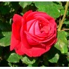 Rosier Dame de Coeur - Rose Rouge - Grandes Fleurs