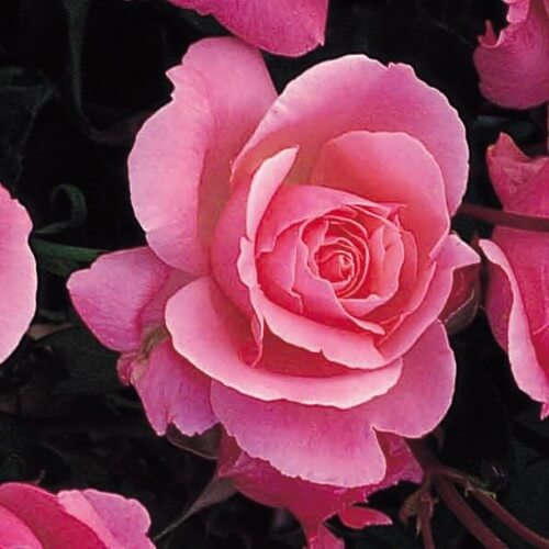 Rosier Queen elizabeth - Rose - Grandes Fleurs