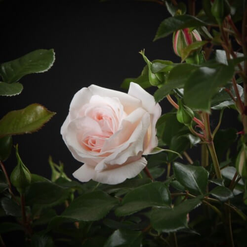 Rosier Queen Palace - Rosier Miniature