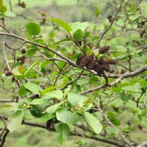 Aulne du caucase (Alnus subcordata)