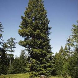 Séquoia toujours vert (Sequoia Sempervirens)