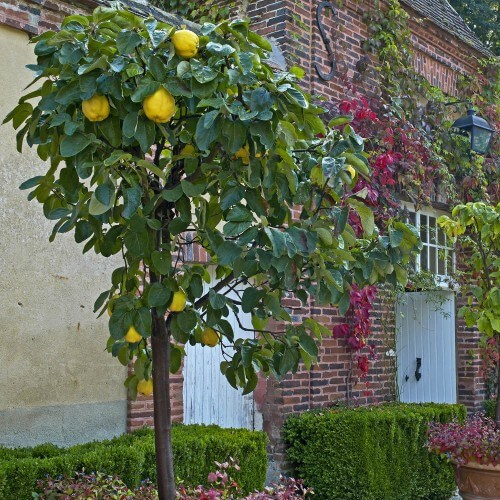 Cognassier franc (Cydonia Oblonga)