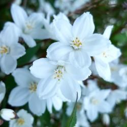 Deutzie grêle (Deutzia gracilis)