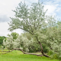 Olivier de Bohême (Eleagnus angustifolia)