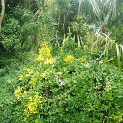 Fusain du Japon - Persistant (Euonymus Japonicus)