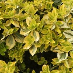 Fusain Emerald Gold - Euonymus Fortunei